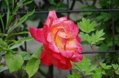 El ` Rose del placer del doble del ` fotos de archivo
