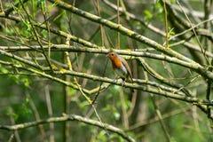 El rubecula de Robin Erithacus del europeo se encaram? en una rama de ?rbol en primavera imagen de archivo