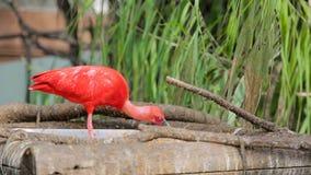 El ruber rojo de Ibis Eudocimus con su pico come hábilmente pequeños pescados Nutrición en el salvaje almacen de metraje de vídeo