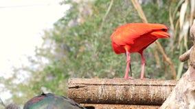 El ruber rojo de Ibis Eudocimus con su pico come hábilmente pequeños pescados Nutrición en el salvaje metrajes