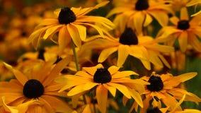 El rudbeckia o el negro amarillo brillante observó las flores de Susan en el jardín almacen de metraje de vídeo