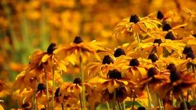 El rudbeckia o el negro amarillo brillante observó las flores de Susan en el jardín almacen de video