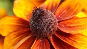 El rudbeckia o el negro amarillo brillante observó las flores de Susan en el jardín metrajes