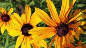 El rudbeckia o el negro amarillo observó las flores de Susan en el jardín almacen de video