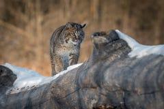 El rufus de Bobcat Lynx camina a través de registro Imagen de archivo libre de regalías