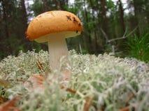 El Russula de la seta con el sombrero amarillo Imagen de archivo libre de regalías