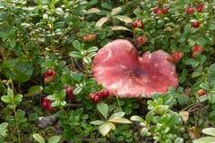 El Russula en arándanos, seta con un sombrero rojo está creciendo entre Fotografía de archivo