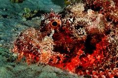 el ryb skorpionów sheikh sharm lokalizacji Zdjęcia Royalty Free
