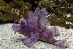 el ryb skorpionów sheikh sharm lokalizacji Zdjęcie Stock