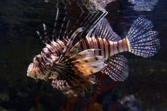 el ryby lwa lokalizacji sharm sheikh Fotografia Royalty Free