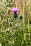 El símbolo de Escocia - un cardo Imagen de archivo