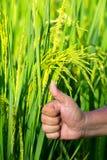 El símbolo de uno la semilla del arroz en la demostración del campo del arroz la sustancia pegajosa de la producción Imagenes de archivo