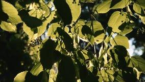 El ` s de Sun irradia la fractura a través de las hojas del árbol metrajes