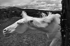 El Sabino Biały koń zdjęcia stock