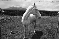 El Sabino White horse Royalty Free Stock Image