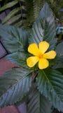 El sabio amarillo subió Imagenes de archivo