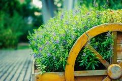 El sabio de Clary (sclarea de Salvia) florece en jardín imagen de archivo libre de regalías