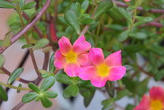 El sabio rosado subió con el polen amarillo que florecía en jardín Imágenes de archivo libres de regalías