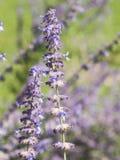 El sabio ruso, atriplicifolia de Perovskia, florece el primer, foco selectivo, DOF bajo Imagenes de archivo