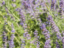 El sabio ruso, atriplicifolia de Perovskia, florece el primer, foco selectivo, DOF bajo fotografía de archivo