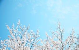 Sakura Imágenes de archivo libres de regalías