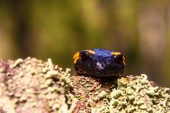 El Salamandra es asperjado por la lluvia de primavera Foto de archivo