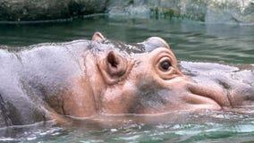 El salir que camina del hipopótamo común del primer del agua en el día soleado zoo almacen de metraje de vídeo