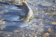 El salmón femenino pone los huevos Foto de archivo