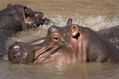 El salpicar del hipopótamo fotos de archivo libres de regalías