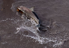 El salpicar del tiburón Fotos de archivo