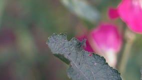 El saltamontes macro con el bigote largo está al acecho y se sienta en una hoja de la flor salvaje almacen de metraje de vídeo