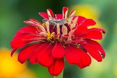 El saltamontes se sienta en una flor del zinnia en el otro fondo de las flores Fotografía de archivo libre de regalías