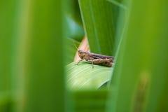 El saltamontes se sienta en una hoja verde de la flor Imagen de archivo