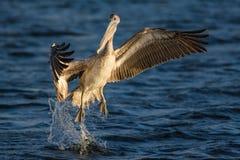 El saltar de Grey Pelican del agua imagenes de archivo
