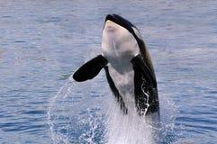 El saltar de la ballena de asesino del agua Foto de archivo libre de regalías