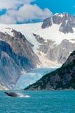 El saltar de la ballena jorobada del agua delante del glaciar en Alask fotografía de archivo