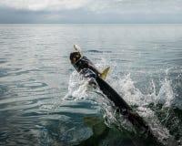 El saltar de los pescados del tarpón del agua - calafate de Caye, Belice imagenes de archivo