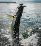 El saltar de los pescados del tarpón del agua - calafate de Caye, Belice imagen de archivo