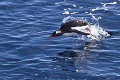 El saltar del pingüino de Gentoo del agua Imagen de archivo libre de regalías