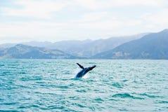 El saltar masivo de la ballena de Humpback del agua Imagen de archivo libre de regalías