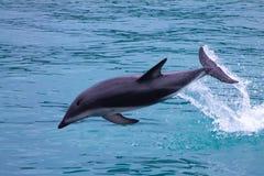 El saltar oscuro del delfín del mar fotografía de archivo