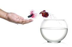 El saltar siamés de los pescados que lucha del fishbowl y en la palma humana aislada en blanco Imagen de archivo