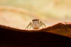 El salto de la araña Imagenes de archivo