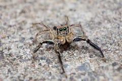 El salto de la araña Fotos de archivo libres de regalías