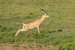 El salto de la gacela Fotos de archivo libres de regalías