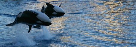 El salto de las orcas Imagen de archivo libre de regalías