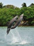 El salto de los delfínes fotos de archivo libres de regalías