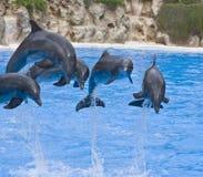 El salto de los delfínes Imagen de archivo libre de regalías