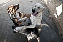 El salto de los perros Fotos de archivo