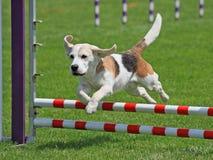 El salto del beagle Fotos de archivo libres de regalías